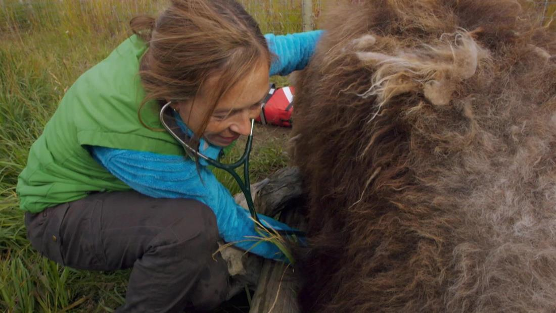 The Great Musk-Ox Roundup
